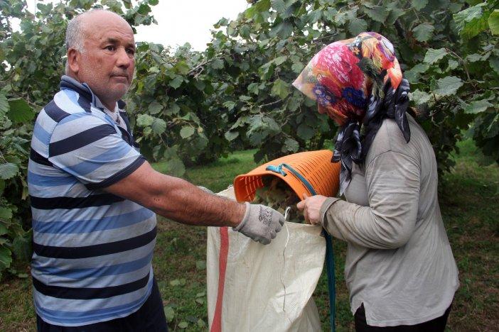 Giresunlu Fındık Üreticileri Hasat İçin Bahçeye Girdi