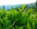 Çay Sektörüne Hibe Desteği