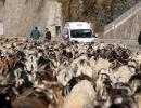Rize'de Koyun sürüsü ile karayoluna çıktı, trafik kilitlendi